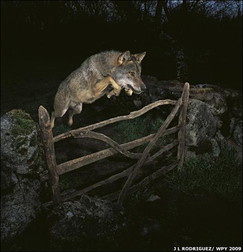 يعيش الذئب الايبيري في مناطق مأهولة بالبشر، لكنه حذر للغاية