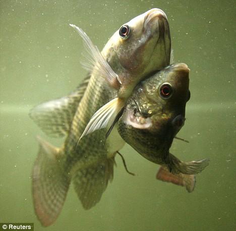 Siamese-fish-2