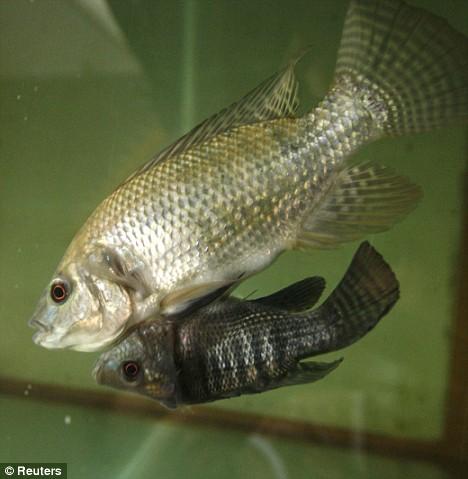 Siamese-fish-3