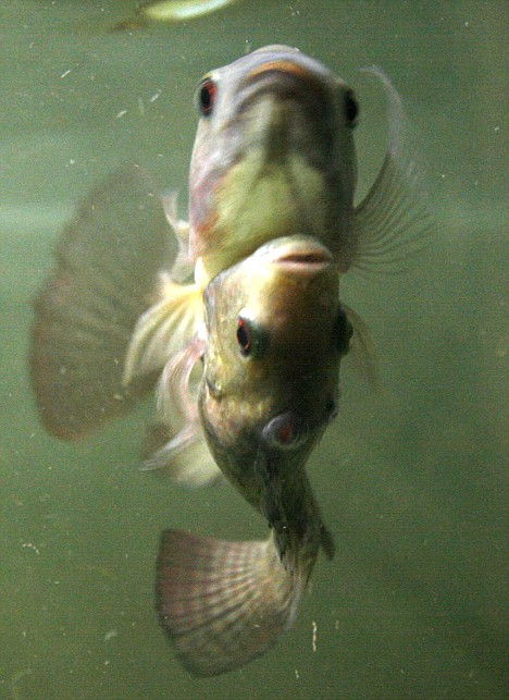 سمك سيامي