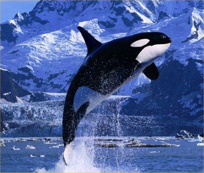 حوت الأوركا  Orca  - killer whale