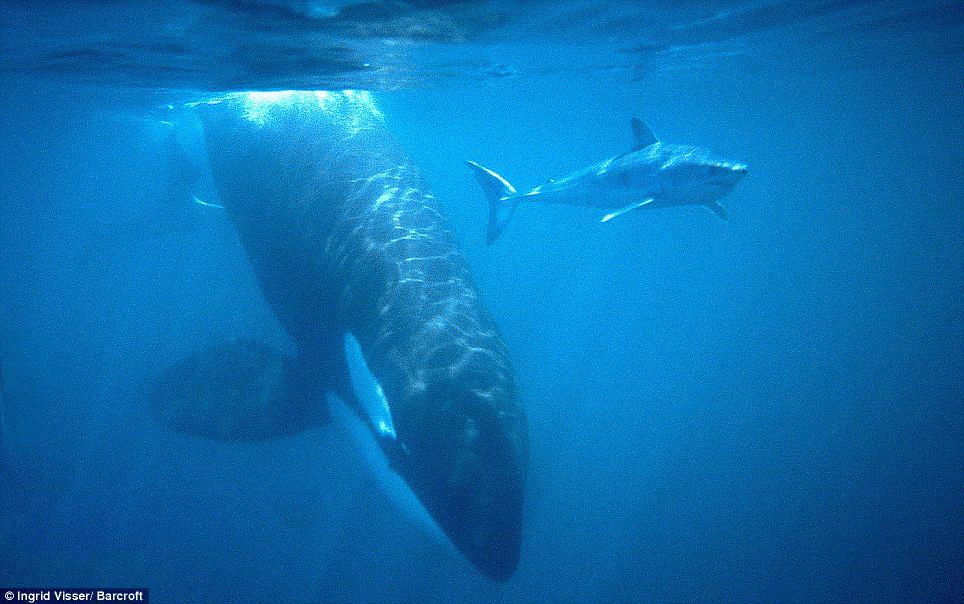 mako-shark-orca