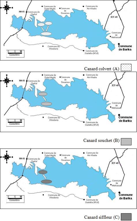canard-colvert-souchet-siffleur